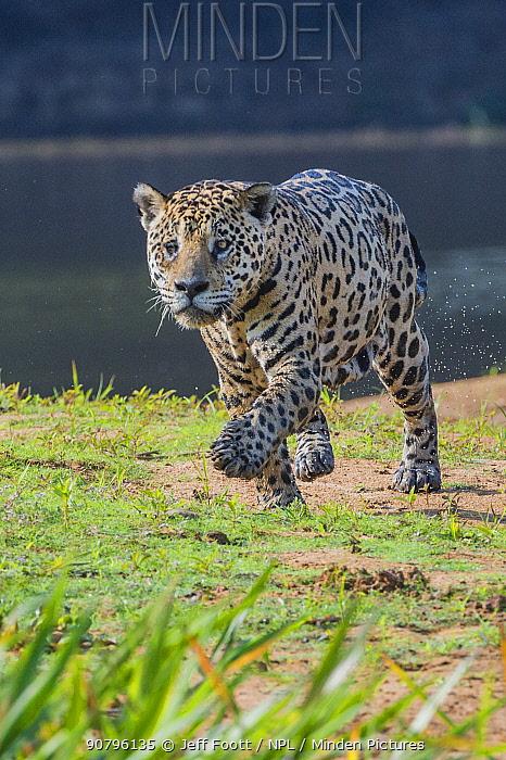 Jaguar (Panthera onca) walking along river bank, Cuiaba River, Pantanal Matogrossense National Park, Pantanal, Brazil.