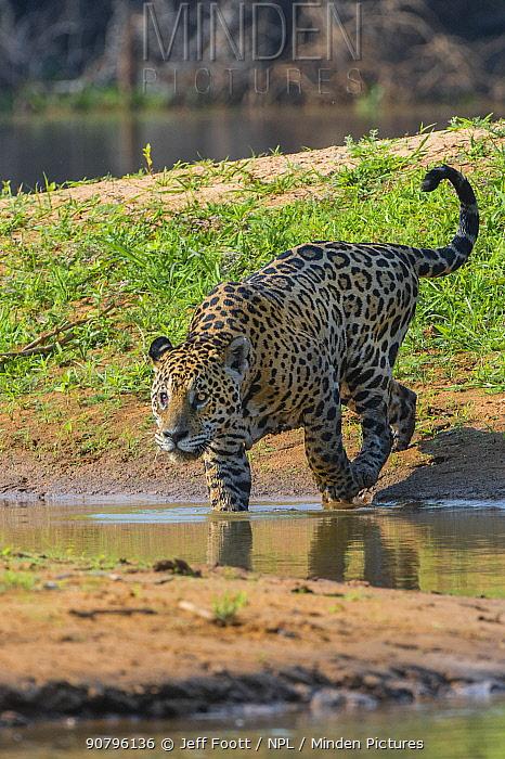 Jaguar (Panthera onca) with injured eye, Cuiaba River, Pantanal Matogrossense National Park, Pantanal, Brazil.