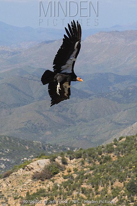 Wild California condor (Gymnogyps californianus) in flight, with wing tag and transmitte, Baja, Mexico.
