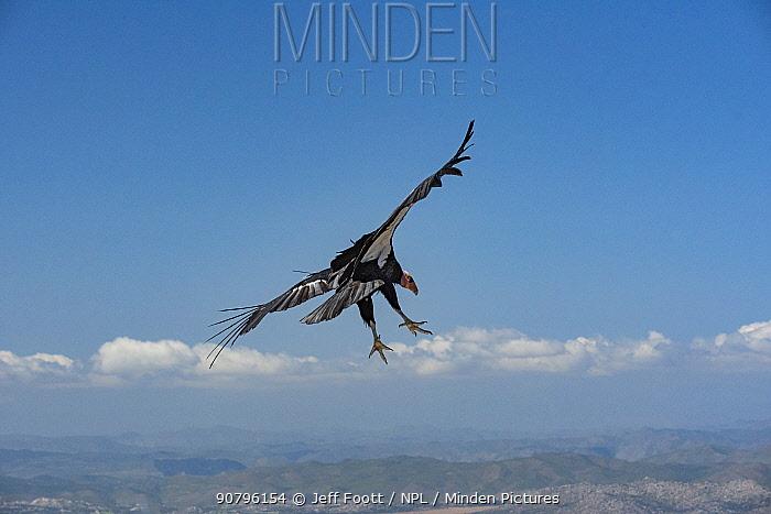 Wild California condor (Gymnogyps californianus) in flight, with wing tag and transmitter, Baja, Mexico.