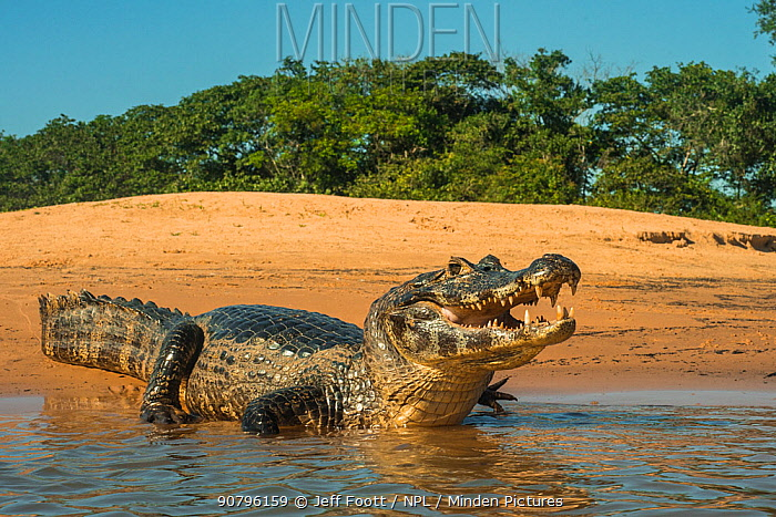 Yacare caiman (Caiman yacare) on river bank, Cuiaba River, Pantanal Matogrossense National Park, Pantanal, Brazil.
