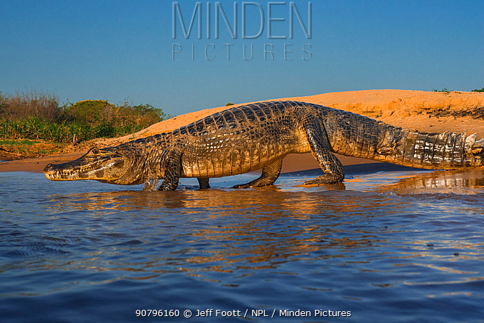 Yacare caiman (Caiman yacare) entering water, Cuiaba River, Pantanal Matogrossense National Park, Pantanal, Brazil.