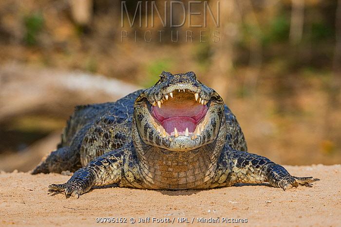 Yacare caiman (Caiman yacare) with mouth open to cool down on the river bank. Cuiaba River, Pantanal Matogrossense National Park, Pantanal, Brazil.