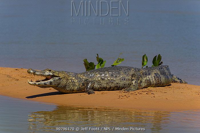 Yacare caiman (Caiman yacare) resting on riverbank, with mouth open to cool down, Cuiaba River, Pantanal Matogrossense National Park, Pantanal, Brazil.