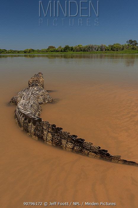 Yacare caiman (Caiman yacare) Cuiaba River, Pantanal Matogrossense National Park, Pantanal, Brazil.