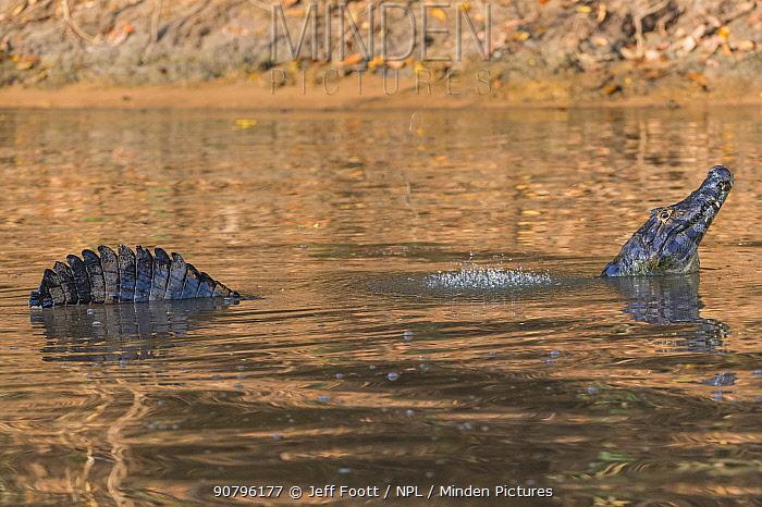 Yacare caiman (Caiman yacare) male in mating display, creating low frequency sound causing water drops. Cuiaba River, Pantanal Matogrossense National Park, Pantanal, Brazil.