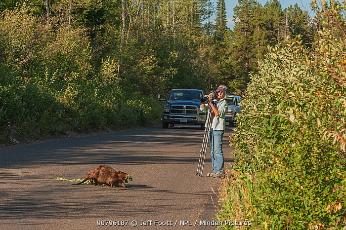 Photographer watching Beaver (Castor canadensis) crossing the road carrying Aspen branch. Grand Teton National Park, Wyoming, USA. August 2012.