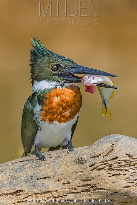 Amazon kingfisher (Chloroceryle amazona) with fish, Cuiaba, Pantanal Matogrossense National Park, Pantanal, Brazil.