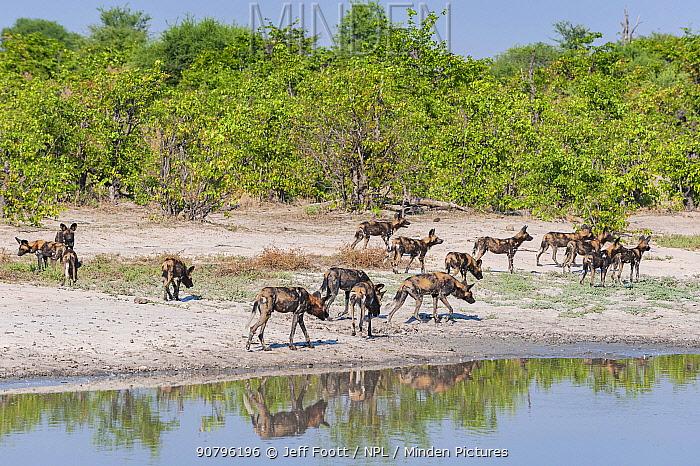 African wild dog (Lycaon pictus) pack passing waterhole while hunting, Chobe National Park, Botswana.