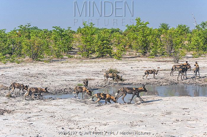 African wild dog (Lycaon pictus) pack passing b ywaterhole while hunting, Chobe National Park, Botswana.