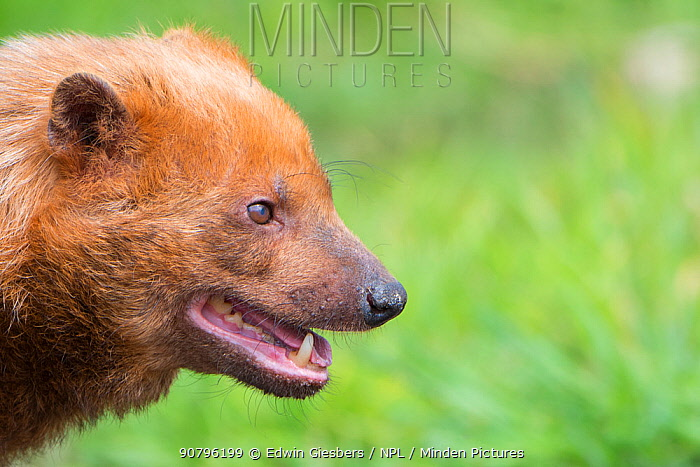 Bush dog (Speothos venaticus) portrait. Occurs in Central and South America. Captive, Netherlands.