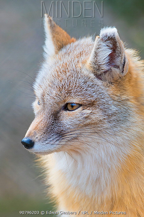 Corsac fox (Vulpes corsac) portrait. Occurs in Central Asia. Captive, Netherlands.