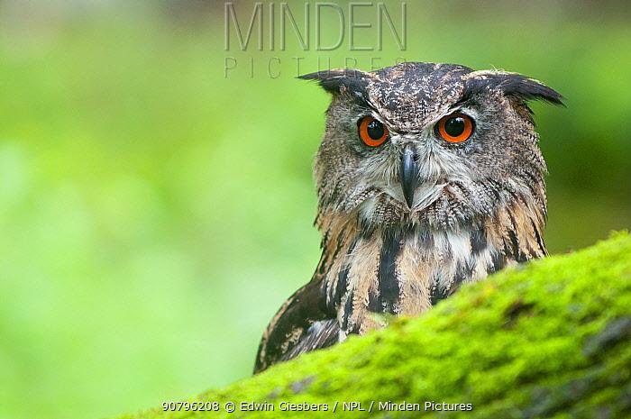 Eagle owl (Bubo bubo) portrait. Netherlands, August.
