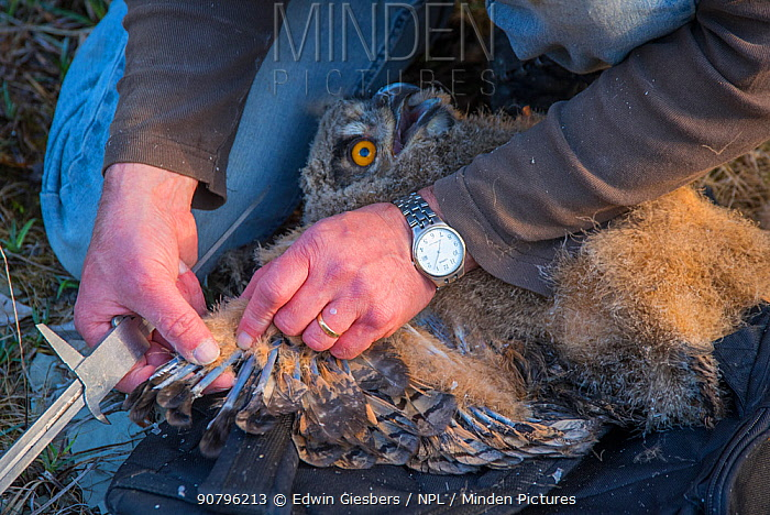 Eagle owl (Bubo bubo) chick. Man measuring chick's wings during ringing session. Netherlands. February 2016.