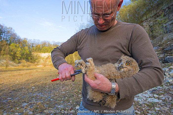 Man ringing Eagle owl (Bubo bubo) chick. Netherlands. February 2016.