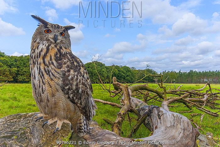 Eagle owl (Bubo bubo) perched on log. Captive, Netherlands. September 2008.