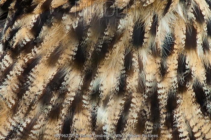 Eagle owl (Bubo bubo), close-up of plumage. Captive, Netherlands. August.