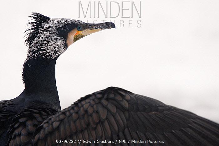 Great cormorant (Phalacrocorax carbo) portrait. Netherlands. January.