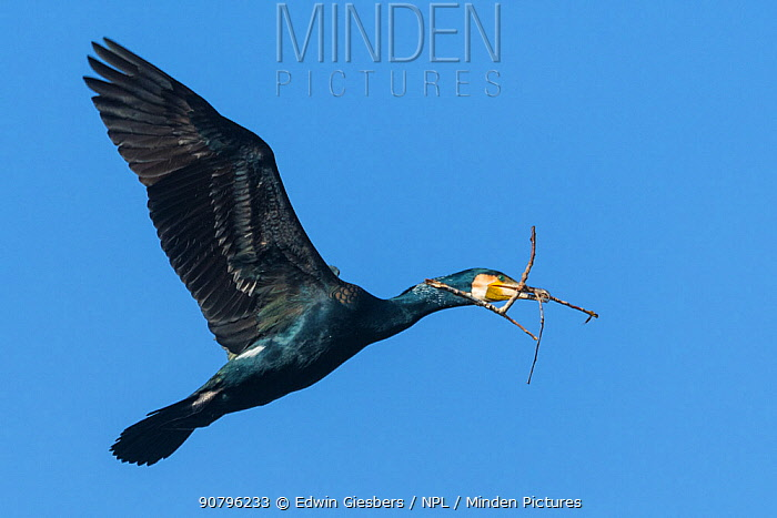Great cormorant (Phalacrocorax carbo) carrying nesting material. Netherlands. April.