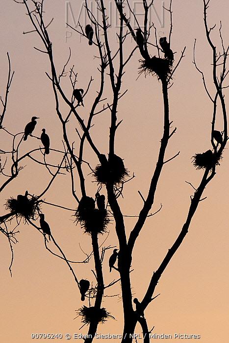 Great cormorant (Phalacrocorax carbo) breeding colony. Netherlands. June.