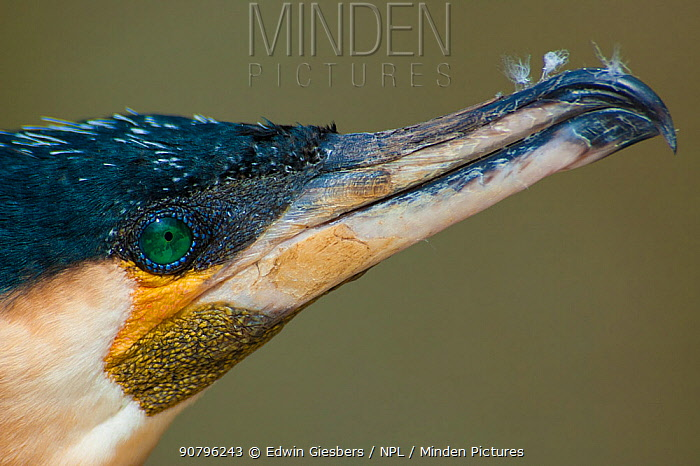 Great cormorant (Phalacrocorax carbo), close-up of head and beak in profile. Netherlands. April.