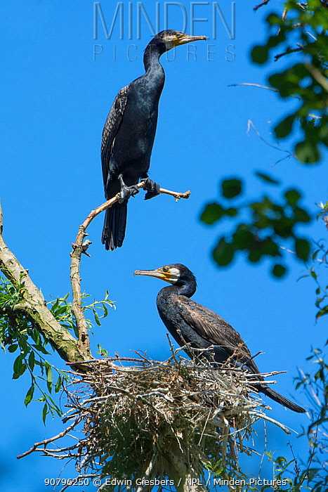 Great cormorant (Phalacrocorax carbo) pair perched in tree. Netherlands. June.