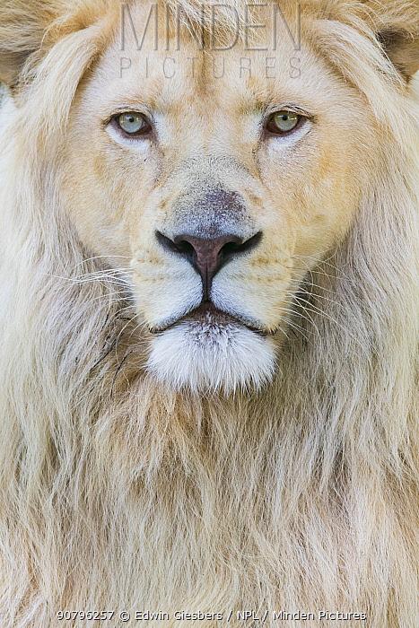 White lion (Panthera leo) male, portrait of head. Captive, Netherlands.
