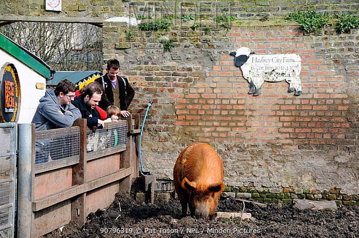People looking over a fence at a Tamworth pig in Hackney City Farm London, England, UK, March 2011