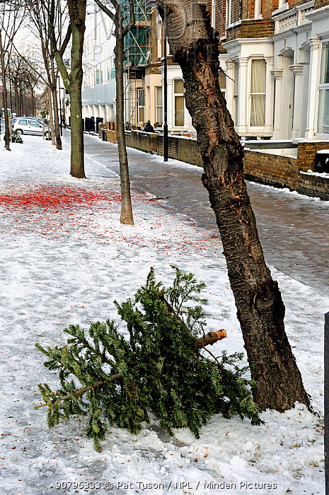 Discarded Christmas tree in snow in a Highbury street awaiting a recycling collection, London Borough of Islington, UK
