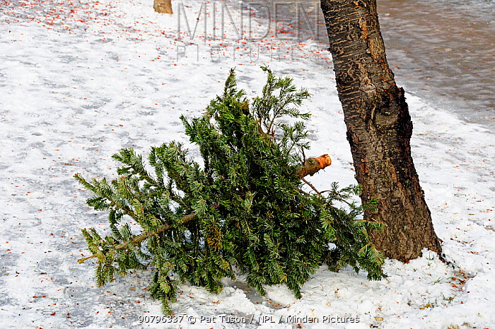 Discarded Christmas tree in snow in a Highbury street awaiting a recycling collection, London UK