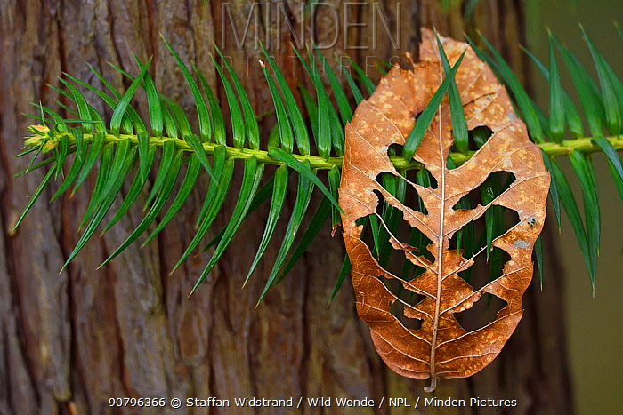 Chinese fir (Cunninghamia lanceolata) with a dry deciduous leaf which has landed on its branch, Tangjiahe National Nature Reserve, Qingchuan County, Sichuan province, China
