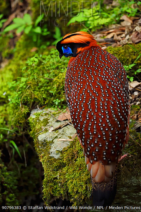 Temminck's tragopan (Tragopan temminckii) male bird walking throught the forest of Tangjiahe National Nature Reserve, Qingchuan County, Sichuan province, China