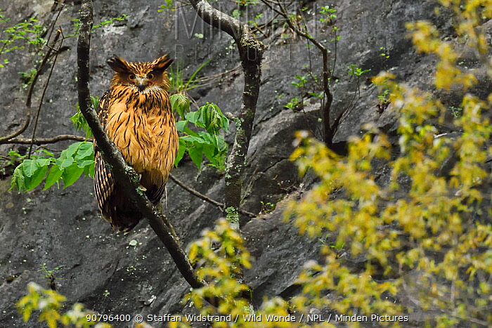 Brown fish owl (Bubo or Ketupa flavipes) sitting on a branch , Tangjiahe National Nature Reserve, Qingchuan County, Sichuan province, China