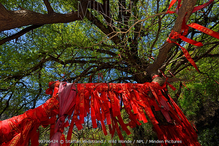 A giant Ginkgo or Maidenhair tree (Ginkgo biloba) with red ribbons with wishes written on them Tangjiahe National Nature Reserve, Qingchuan County, Sichuan province, China. This holy Tao site and tree is estimated to be over 2000 years old