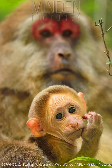 Tibetan macaque (Macaca thibetana) female with baby, Tangjiahe National Nature Reserve,Qingchuan County, Sichuan province, China
