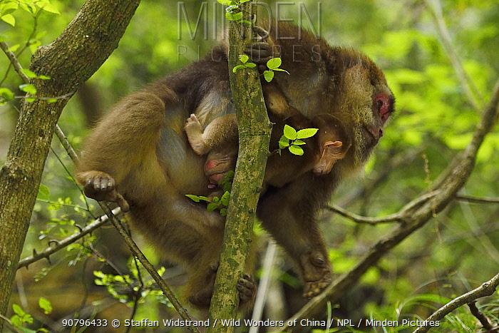 Tibetan macaque (Macaca thibetana) female carrying baby, Tangjiahe National Nature Reserve,Qingchuan County, Sichuan province, China