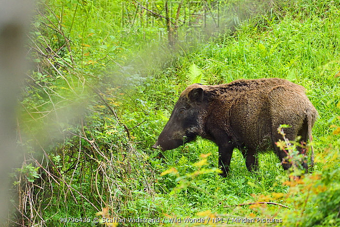Wild boar (Sus scrofa) standing in a forest , Tangjiahe National Nature Reserve,Qingchuan County, Sichuan province, China