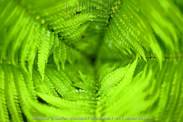 Close up of Ferns, Tangjiahe National Nature Reserve,Qingchuan County, Sichuan province, China