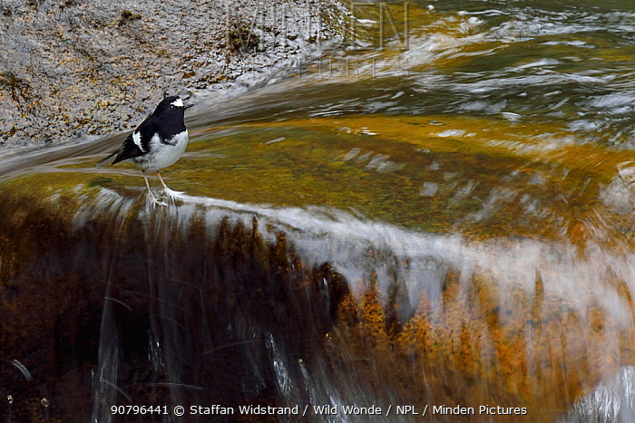 Little forktail (Enicurus scouleri) in river , Tangjiahe National Nature Reserve, Qingchuan County, Sichuan province, China