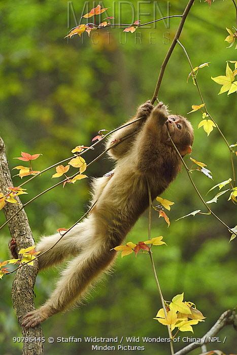 Tibetan macaque (Macaca thibetana) infant playing in a tree, Tangjiahe National Nature Reserve, Qingchuan County, Sichuan province, China