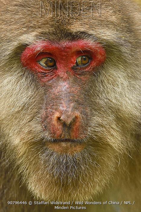 Tibetan macaque (Macaca thibetana) female, portrait, Tangjiahe National Nature Reserve, Qingchuan County, Sichuan province, China