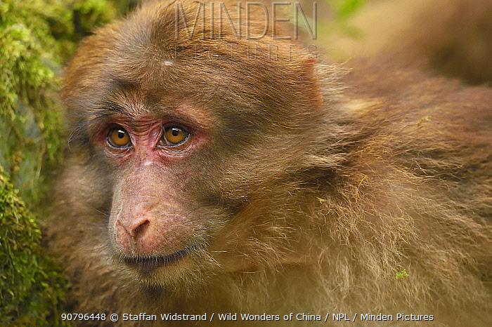 Tibetan macaque (Macaca thibetana) juvenile, portrait, Tangjiahe National Nature Reserve, Qingchuan County, Sichuan province, China