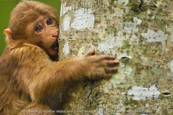 Tibetan macaque (Macaca thibetana) infant climbing tree, Tangjiahe National Nature Reserve, Qingchuan County, Sichuan province, China