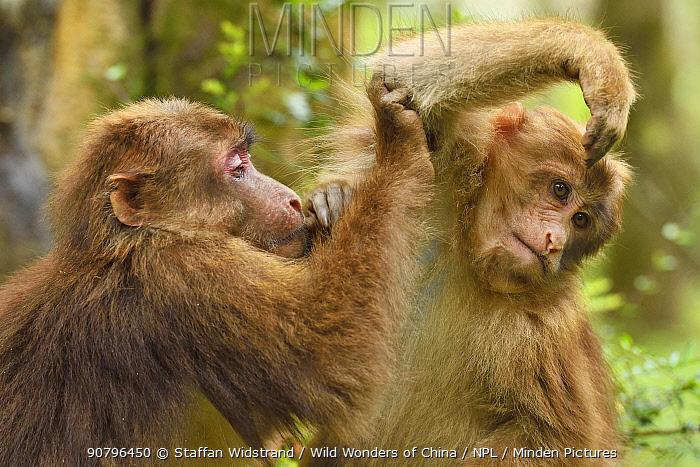 Tibetan macaque (Macaca thibetana) juveniles grooming each other, Tangjiahe National Nature Reserve, Qingchuan County, Sichuan province, China