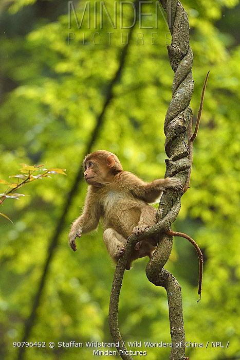 Tibetan macaque (Macaca thibetana) infant in tree, Tangjiahe National Nature Reserve, Qingchuan County, Sichuan province, China