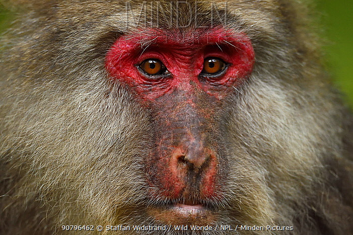 Tibetan macaque (Macaca thibetana) female, Tangjiahe National Nature Reserve, Qingchuan County, Sichuan province, China