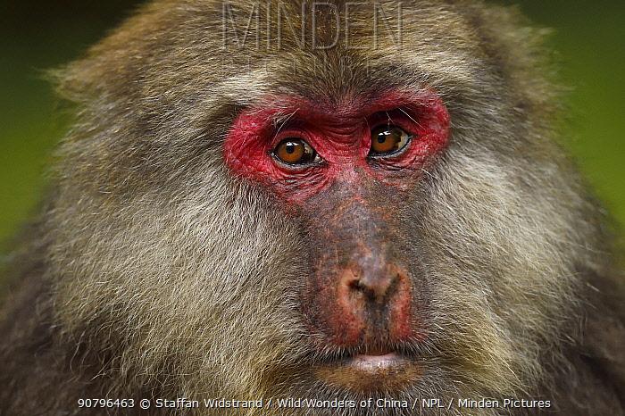 Tibetan macaque (Macaca thibetana) Tangjiahe National Nature Reserve, Qingchuan County, Sichuan province, China