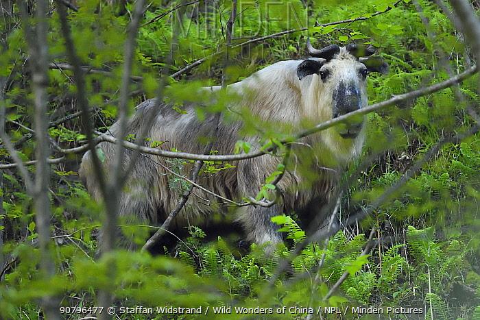 Sichuan or Tibetan takin (Budorcas taxicolor tibetana) standing in forest, Tangjiahe National Nature Reserve, Qingchuan County, Sichuan province, China