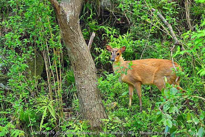 Reeve's muntjac (Muntiacus reevesi) adult male, standing in the woods, Tangjiahe National Nature Reserve, Sichuan Province, China