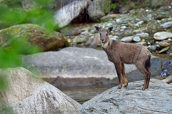 Chinese or Long-tailed goral (Naemorhedus griseus) standing by a river on a stone, Tangjiahe National Nature Reserve, Sichuan Province, China